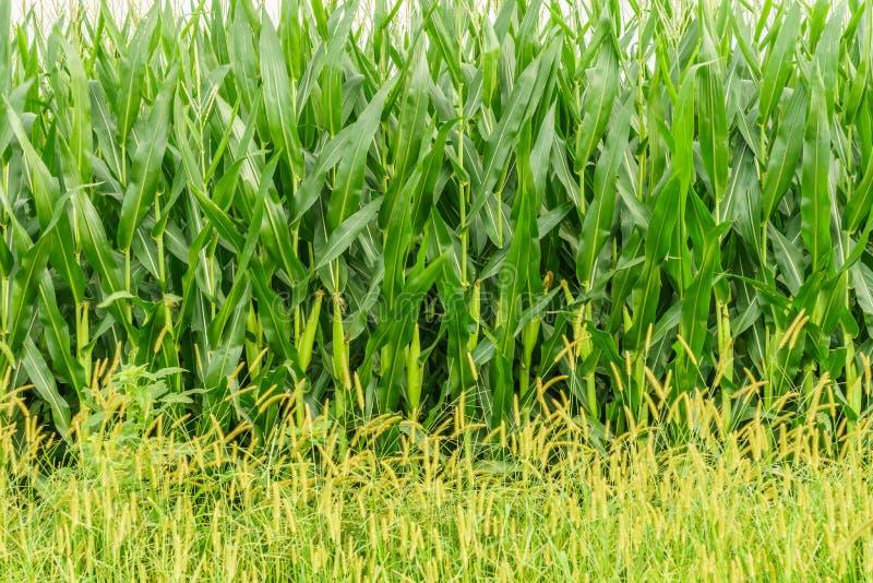 Amischer Landbauernhof, Maiswand, Feldlandwirtschaft in Lancaster, PA lizenzfreies stockbild
