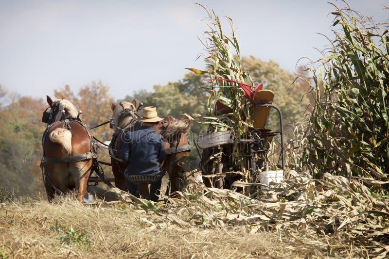 Amish autumn harvest royalty free stock photo