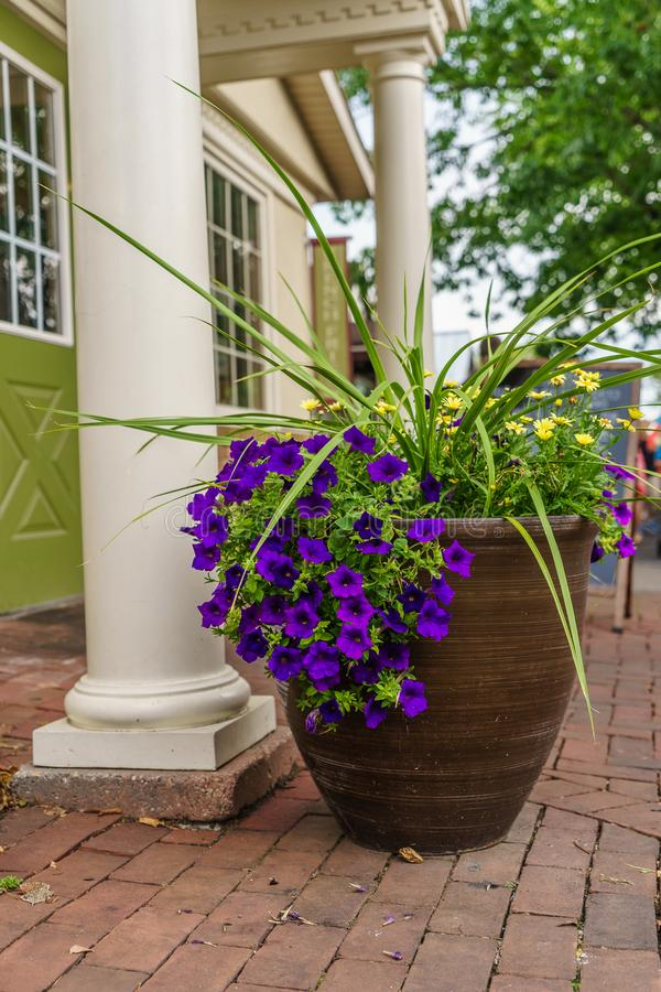 Amish country violet flower in pot in Lancaster, PA. Clomn US stock image