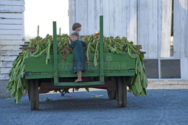Amish Farming. Amish Children playing on a trailer full of tobacco in Lancaster County Pennsylvania stock photos
