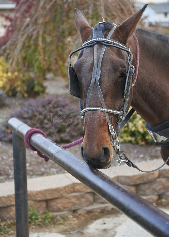 Amish häst som binds till den hitching stolpen royaltyfria bilder