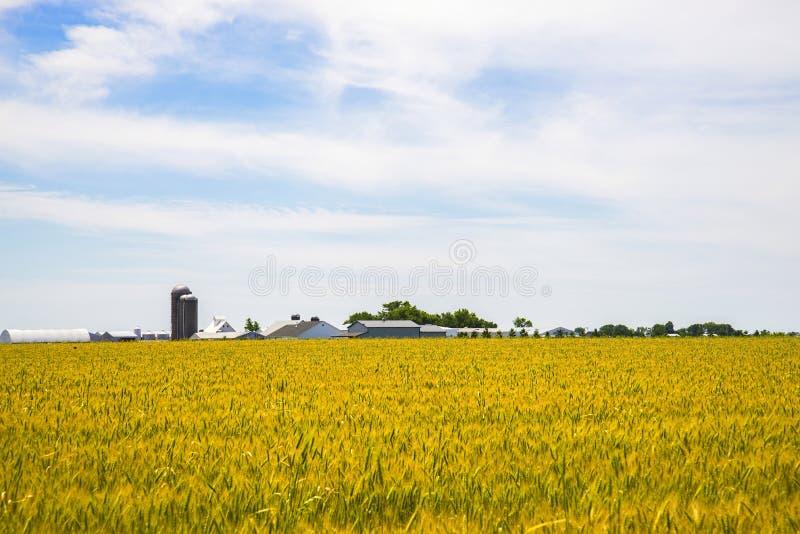Amish lantgård och vetefält arkivfoton