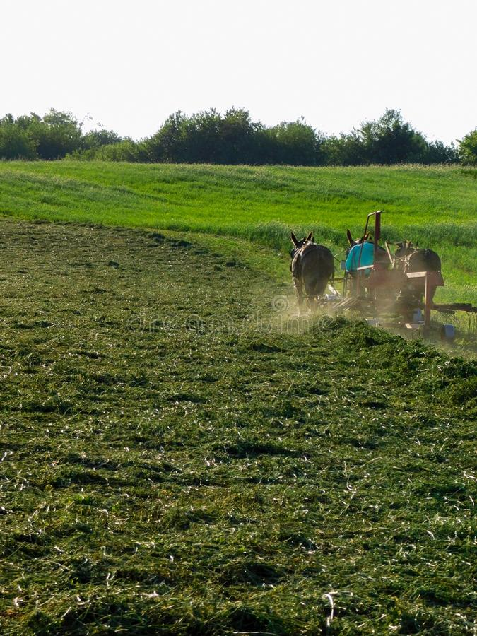 An Amish man gathers freshly cut alfalfa for baling. An Amish man and a team of two mules brush freshly cut alfalfa grass into long piles for easier baling stock image