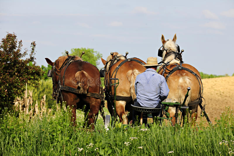 Amish Man Plowing with 3 Horses. The back of an Amish man sitting on his plow seat behind three born horses on a bright spring day stock image