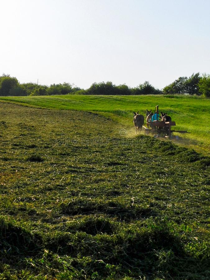 Amish man plows a field of alfalfa. An Amish man and a team of two mules brushing freshly cut alfalfa grass into long piles for easier baling royalty free stock photography
