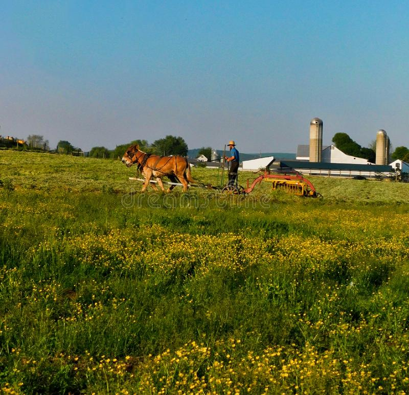 Amish man som plogar ett fält med ett lag av mulor royaltyfri bild