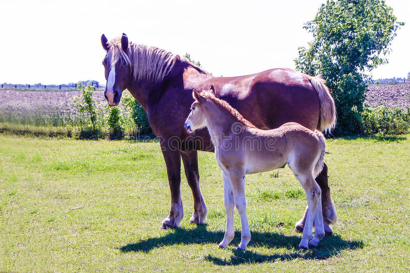 Amish Mare and Foal. royalty free stock photos
