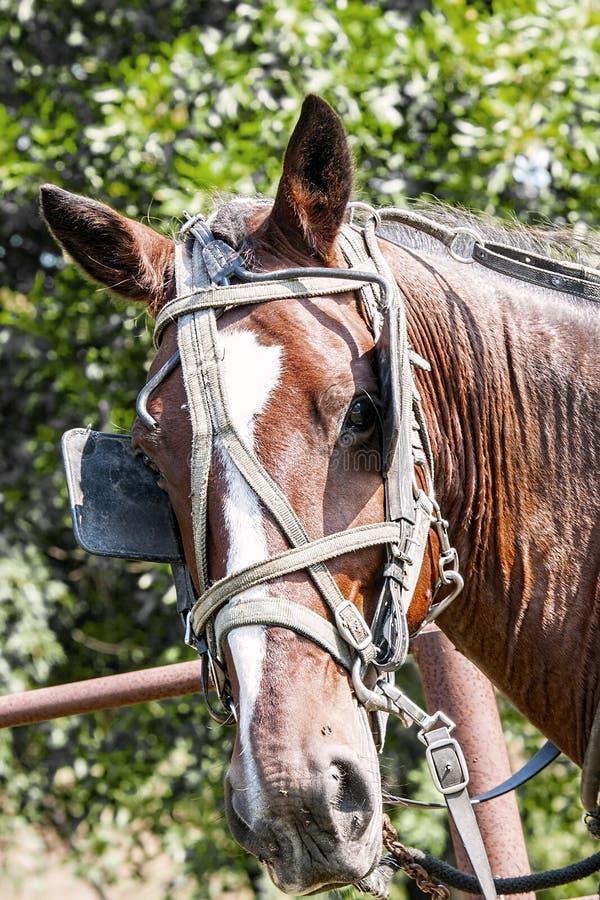 Amish powozika koń obraz stock