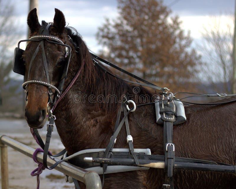Amish powozika koń zdjęcie stock