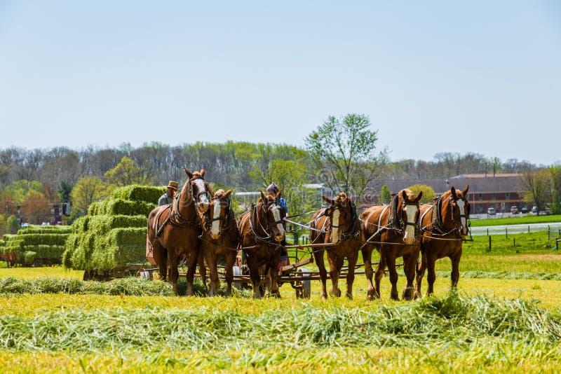 Amish rolników żniwa siano fotografia royalty free