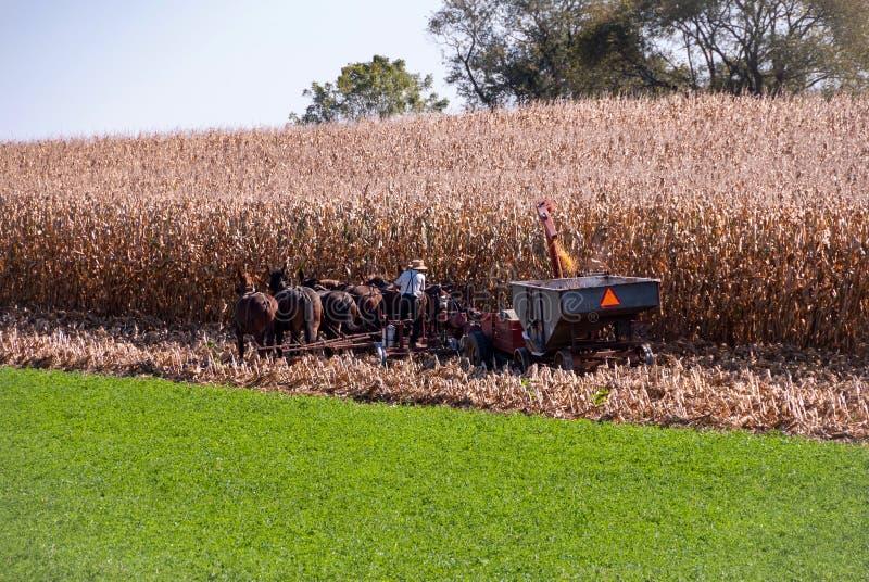 amish target939_0_ kukurydzany średniorolny zdjęcie stock