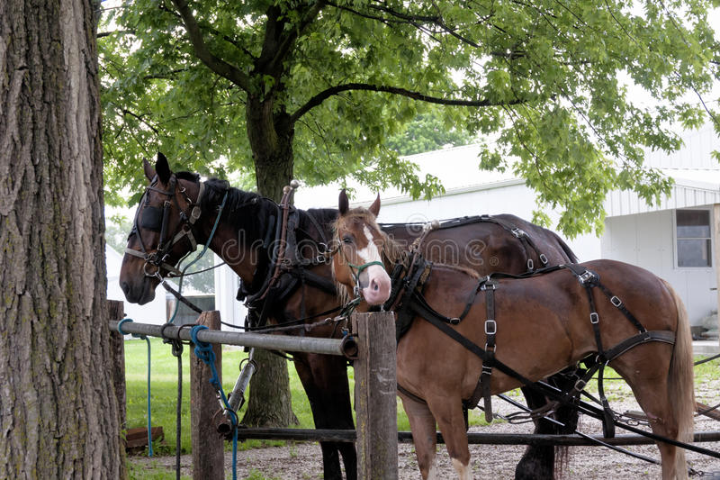 Amish work horses,. An unmached pair of Amish work horses royalty free stock images