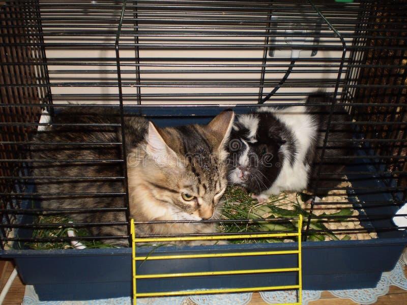 amistad de un gato y de un conejillo de Indias imagenes de archivo