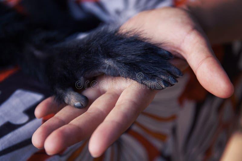 Amistad entre el mono humano, apretón de manos Protección de animales en peligro fotos de archivo libres de regalías