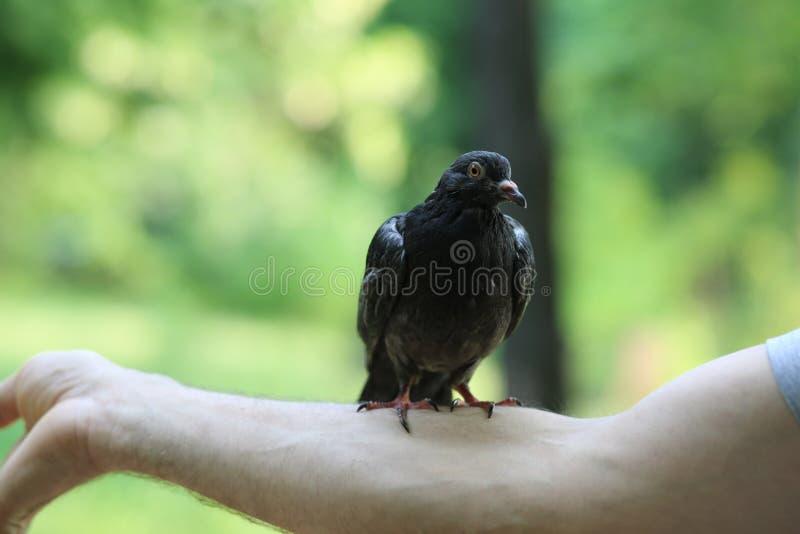 Amitié d'une colombe et d'un homme photographie stock libre de droits