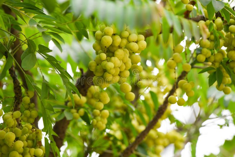 Amla-Baum-Nahaufnahmegrün gesund stockfotografie