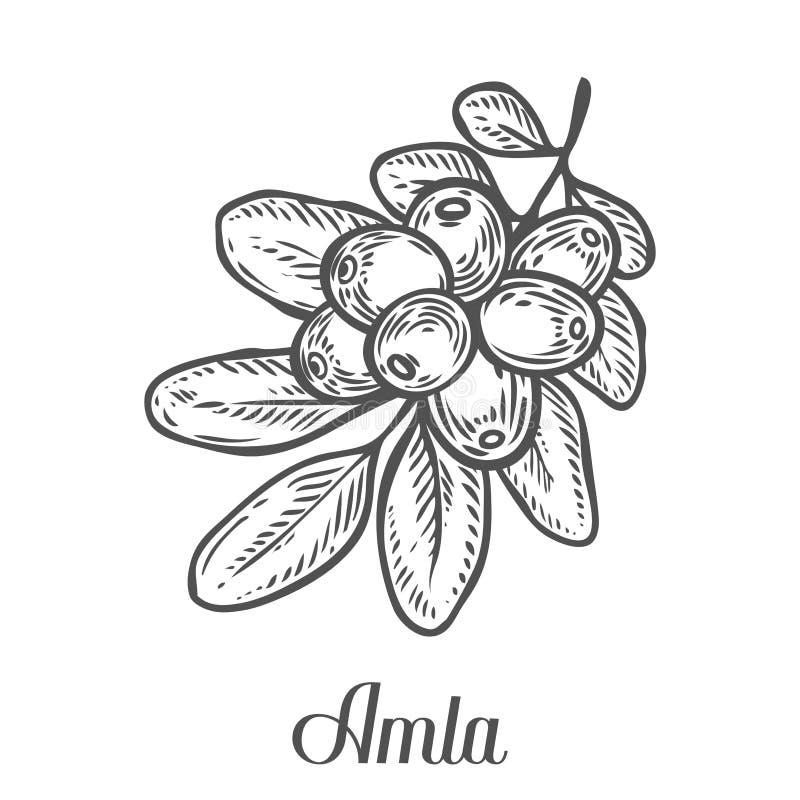 Amla indisk krusbärväxt, Phyllanthus emblica Handen drog inristade vektorn skissar etsar illustrationen Ingrediens för hår och bo stock illustrationer