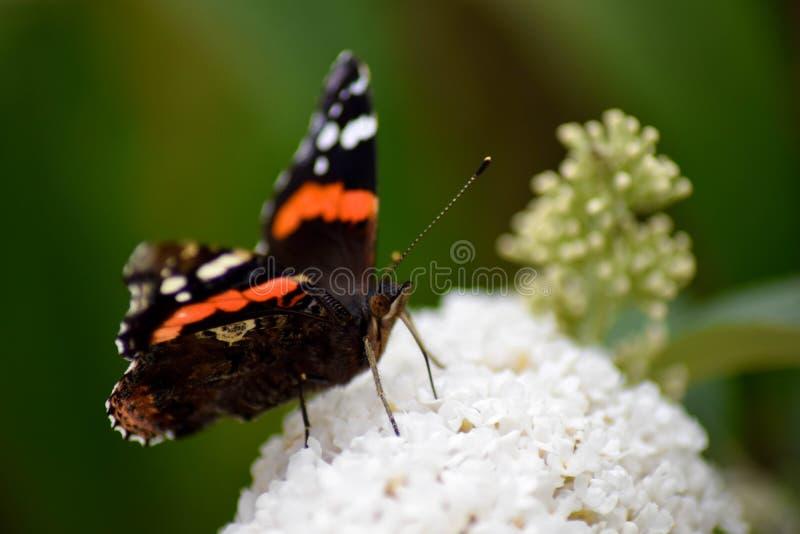 Ammiraglio rosso Butterfly immagine stock