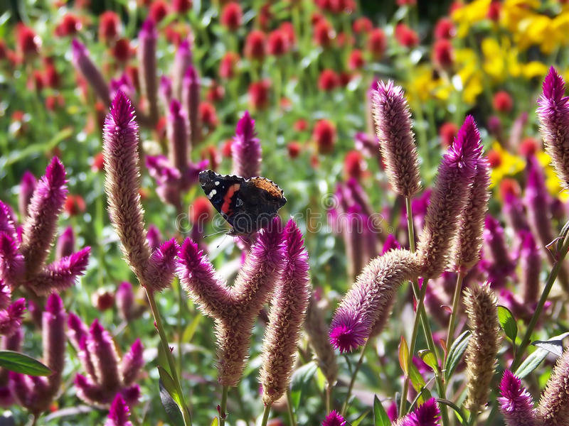 Ammiraglio rosso Butterfly On Flowers immagini stock