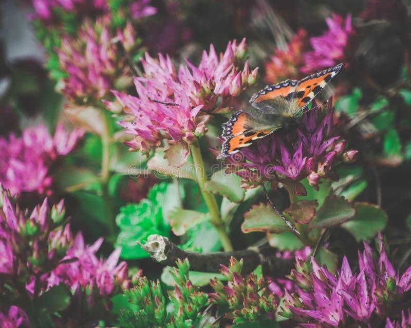 Ammiraglio rosso Butterfly sui fiori rosa immagine stock libera da diritti