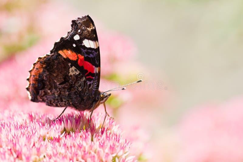 Ammiraglio rosso della farfalla sui fiori di sedum immagini stock libere da diritti
