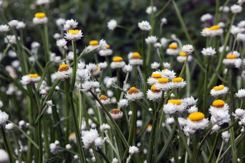Ammobium witte bloem royalty-vrije stock foto's