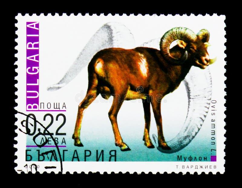Ammon do ammon do Ovis do Argali, serie adaptado dos animais, cerca de 2000 fotos de stock