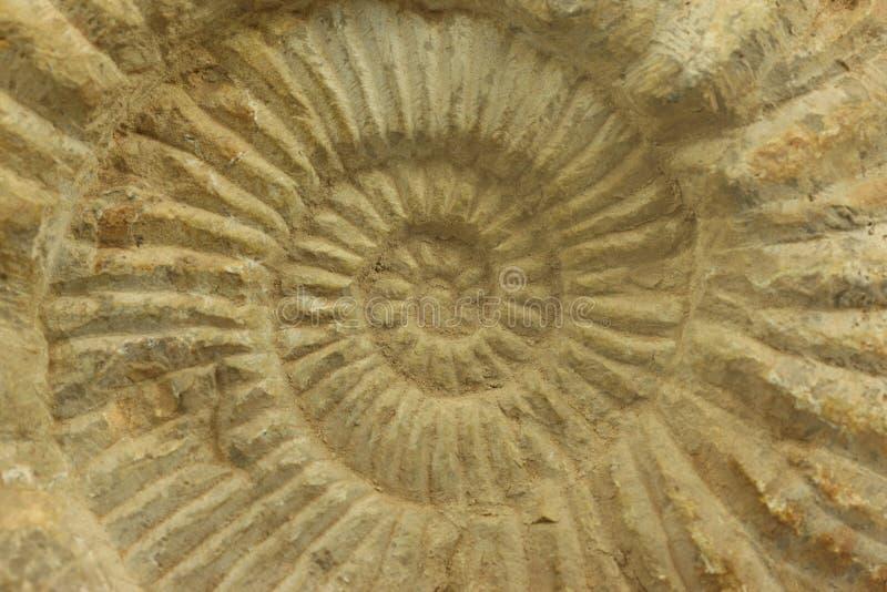 Ammonit arkivbilder