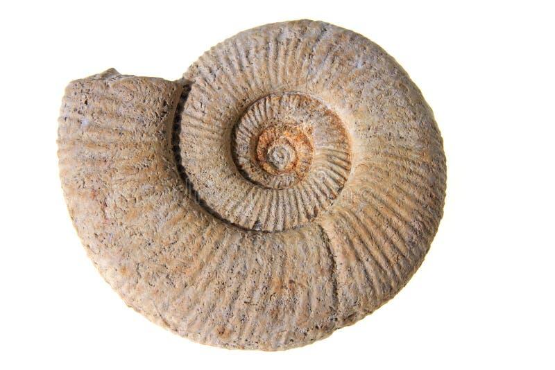 Ammonit arkivfoto