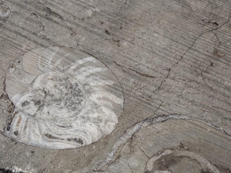 Ammonit-Fossilien schließen oben stockfotografie