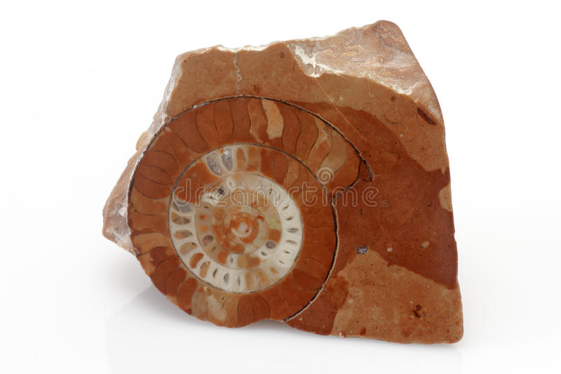 Download Ammonite stock photo. Image of paleontology, fossilized - 12180038