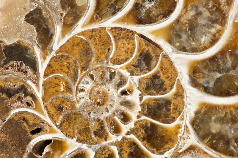 Ammonite photographie stock