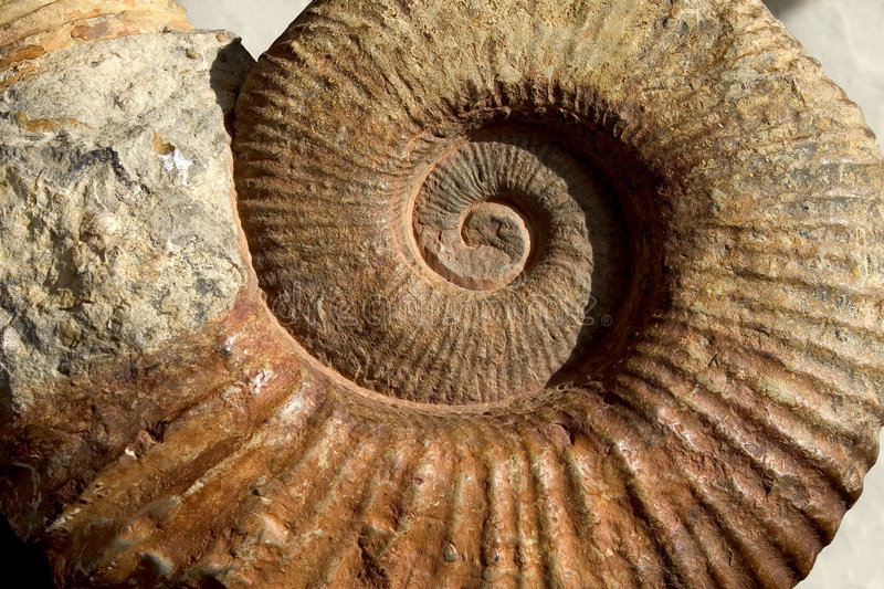 Download Ammonite stock photo. Image of abstract, evolution, biology - 982322