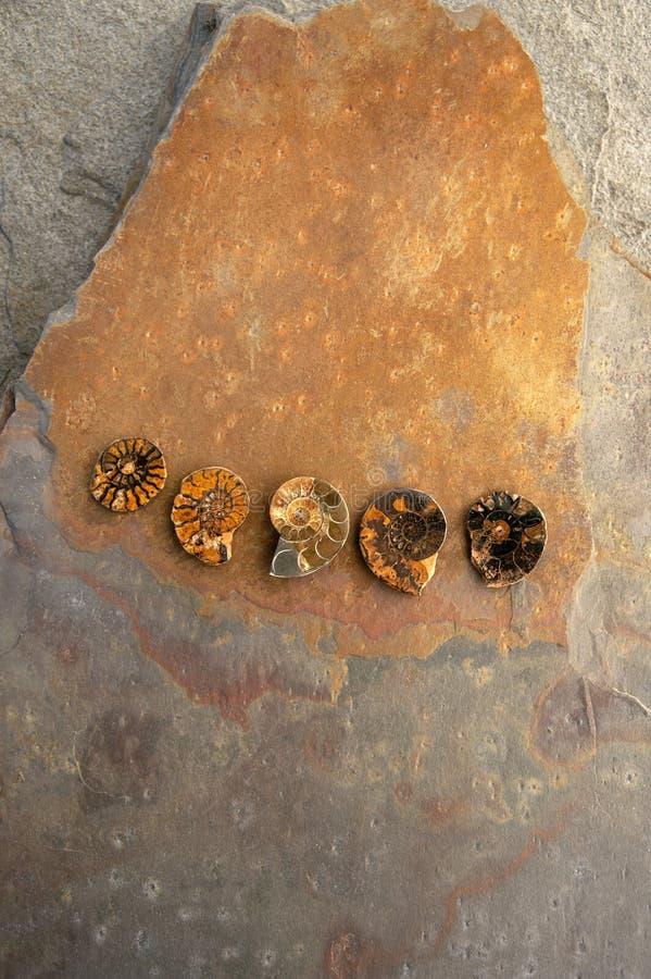 Ammonite Fóssil Nautilus fotografia de stock royalty free
