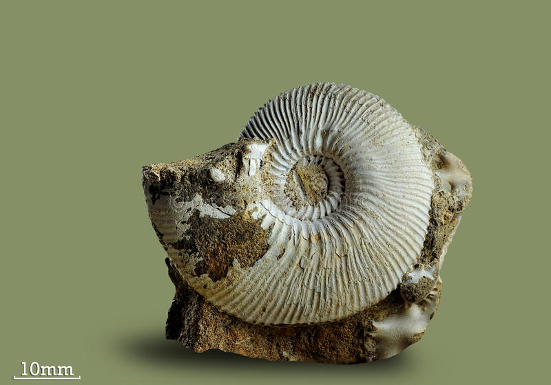 Ammonite - fossil mollusk. Ammonites lived in the ancient ocean 175 million years ago. The Ammonite was found in an expedition in search of fossil specimens stock photo