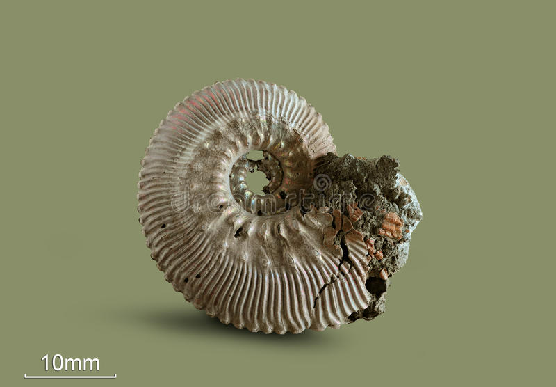Ammonite - fossil mollusk. Ammonites lived in the ancient ocean 175 million years ago. The Ammonite was found in an expedition in search of fossil specimens royalty free stock image