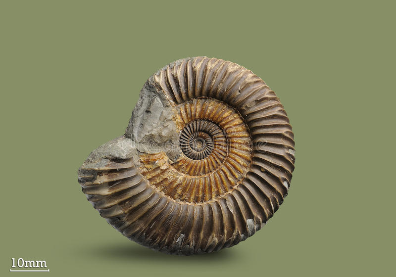 Ammonite - fossil mollusk. Ammonites lived in the ancient ocean 175 million years ago. The Ammonite was found in an expedition in search of fossil specimens stock photos