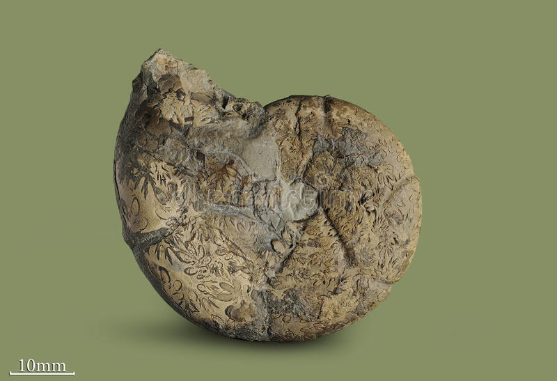 Ammonite - fossil mollusk. Ammonites lived in the ancient ocean 175 million years ago. The Ammonite was found in an expedition in search of fossil specimens royalty free stock photos