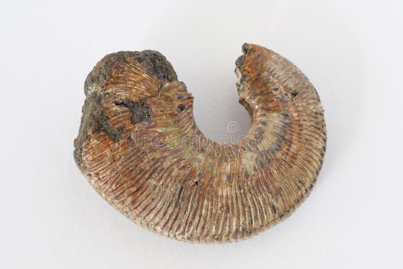 Ammonite fossilized mollusk on white background royalty free stock image