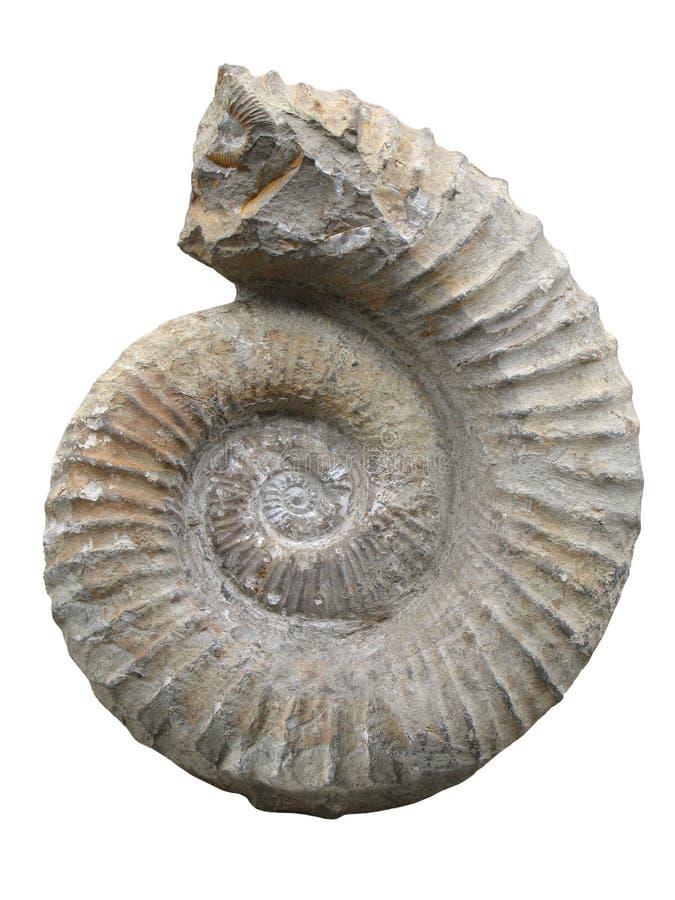 Ammonite fossilizzata immagine stock libera da diritti