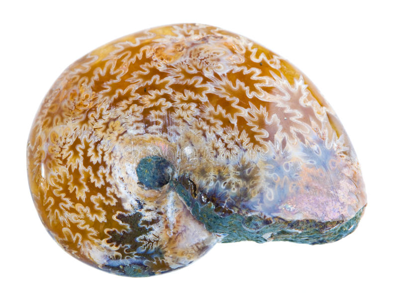 ammonitefossil royaltyfri foto