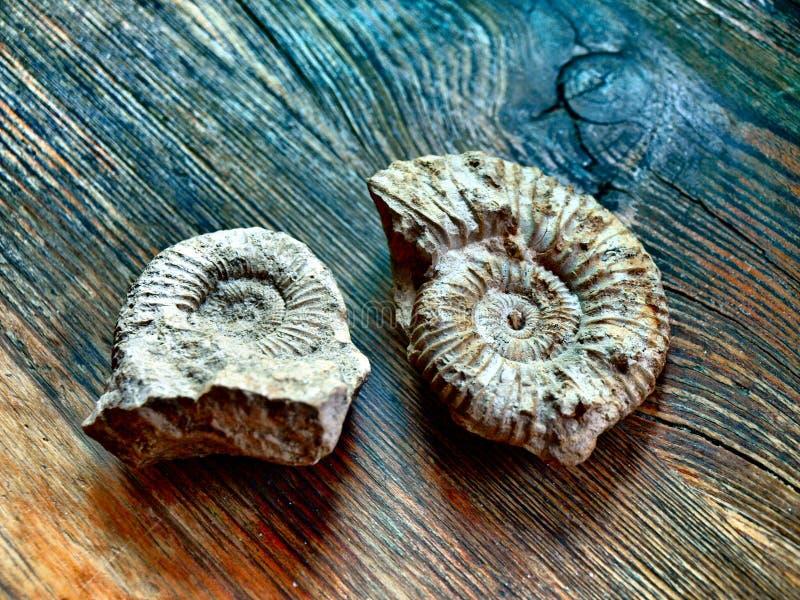 Download Ammonites stock image. Image of ammonoidea, ammonites - 4851971