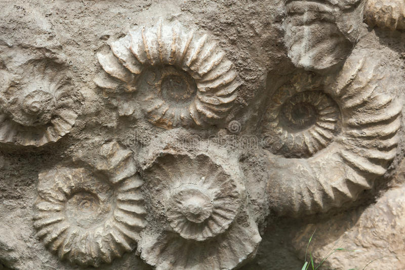 Ammonites from the Cretaceous Period found as fossils. Scaphites from the family of heteromorph ammonites widespread during the Cretaceous Period found as stock photo