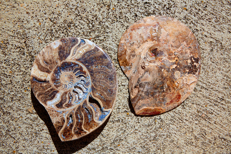 Ammonites fossil snail cut found in Teruel. Sierra Albarracin of Spain royalty free stock photography