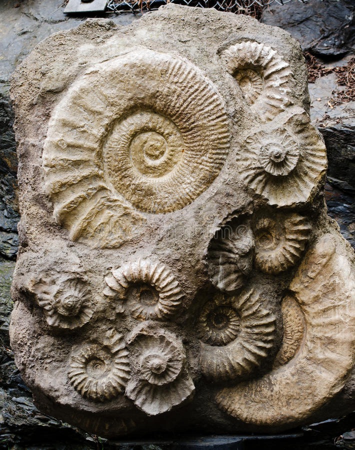 Ammonitfossil arkivbild