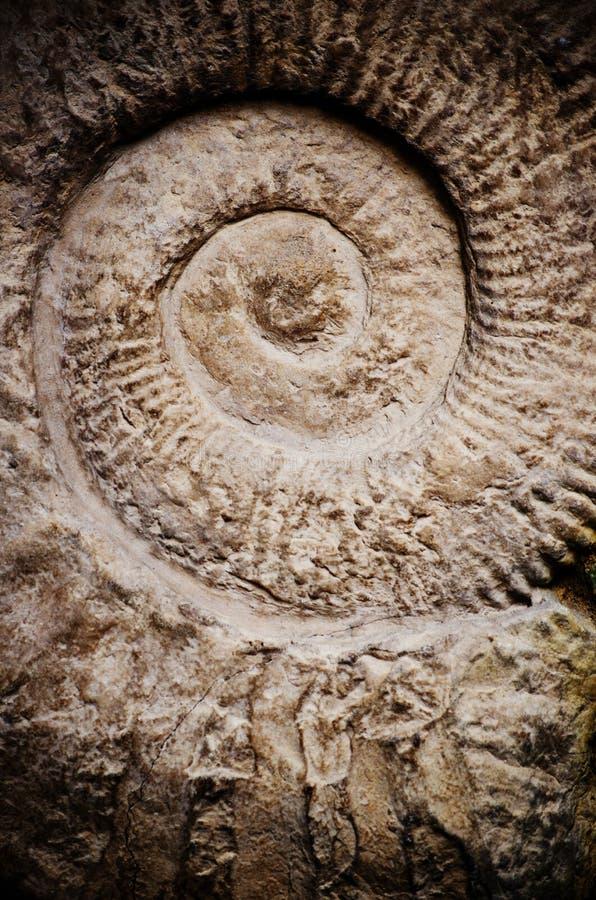 Ammonitfossil arkivfoto