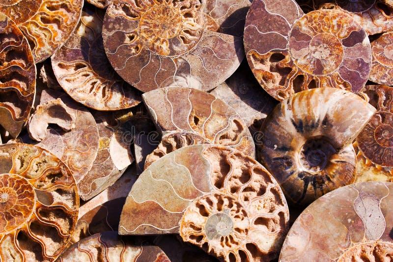 Ammonoidea estinto, fondo della metà lucidata delle coperture petrificate, ammoniti fossili fotografia stock libera da diritti
