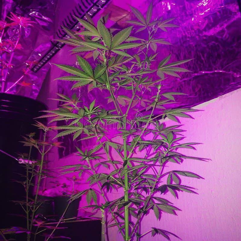 Amnésia Haze Cannabis Flowering fotografia de stock royalty free