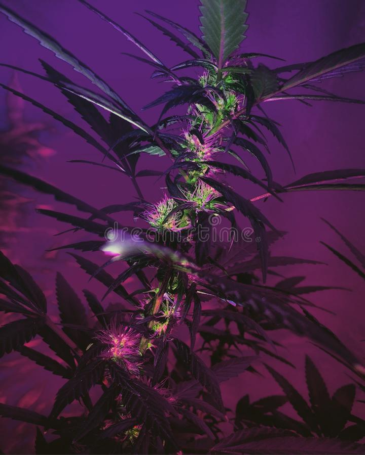 Amnésia Haze Cannabis Flowering imagem de stock