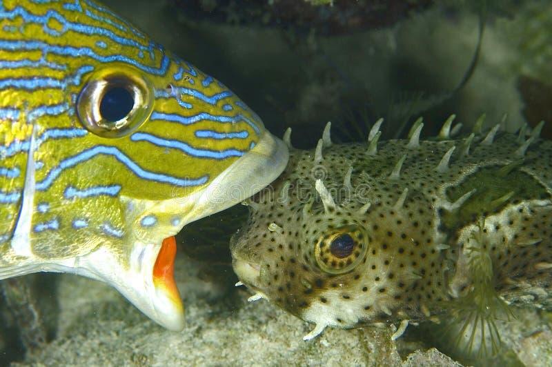 amo di pesci nessun ollie s là immagini stock